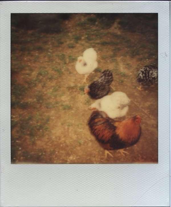 Hühner mit Blitz